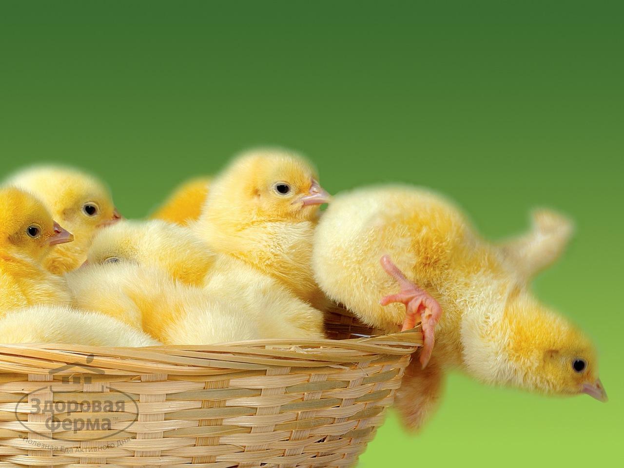 Прием фелуцена с раннего возраста обеспечит цыплятам правильное развитие